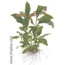 HYDROPHILA CORYMBOSA SIAMENSIS. Plantas de acuario Tropica Dinamarca.