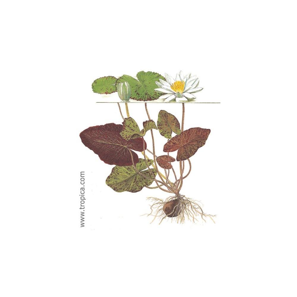 Nymphaea lotus planta de acuario tropica dinamarca for Plantas de acuario