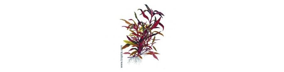 Plantas naturales para acuarios plantados